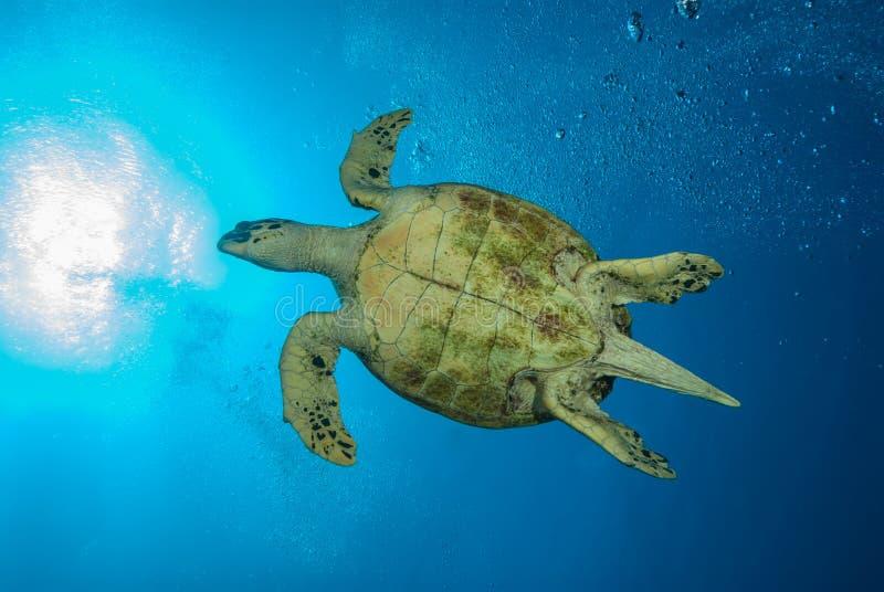 Parte Inferior De Una Tortuga De Mar Verde Imagen de archivo ...