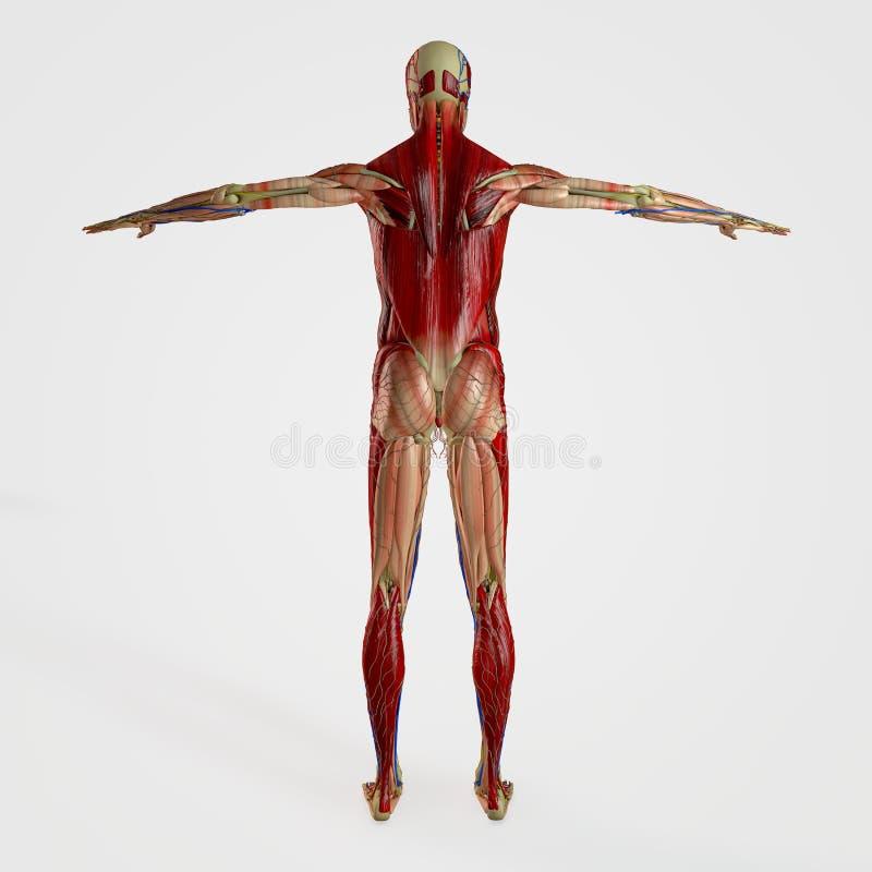 Parte posterior de la anatomía ilustración del vector