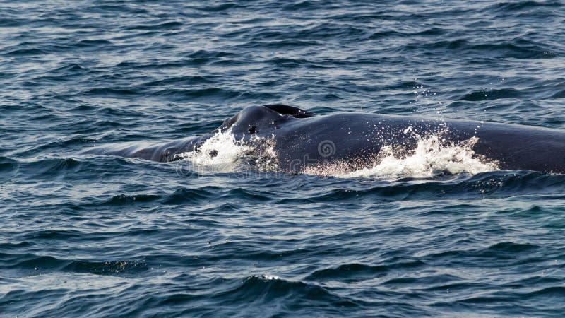 Parte posterior de la ballena jorobada en la superficie foto de archivo libre de regalías