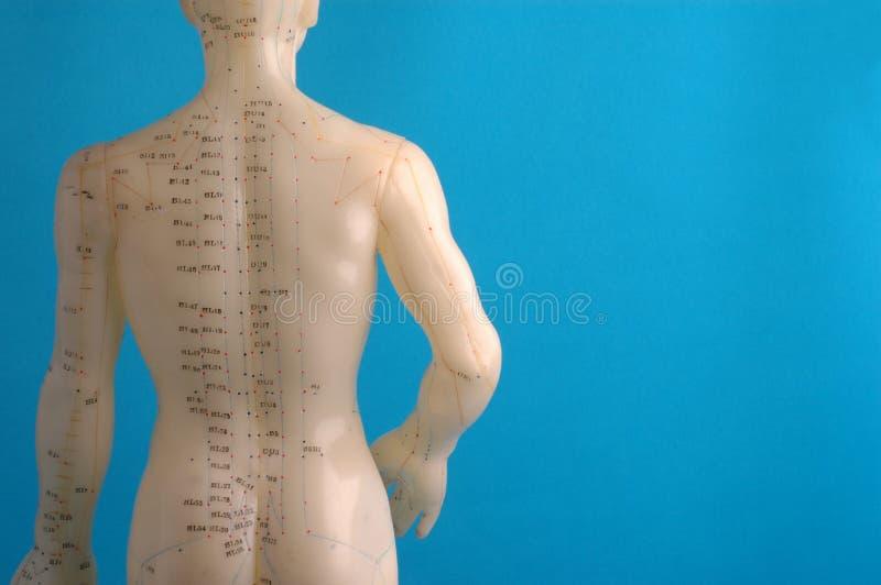 Parte posteriore del modello di agopuntura immagine stock libera da diritti