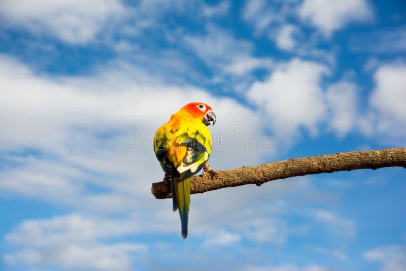 Parte posteriore del pappagallo di conuro di Sun sul ramo di albero secco con il fondo del cielo blu fotografia stock libera da diritti