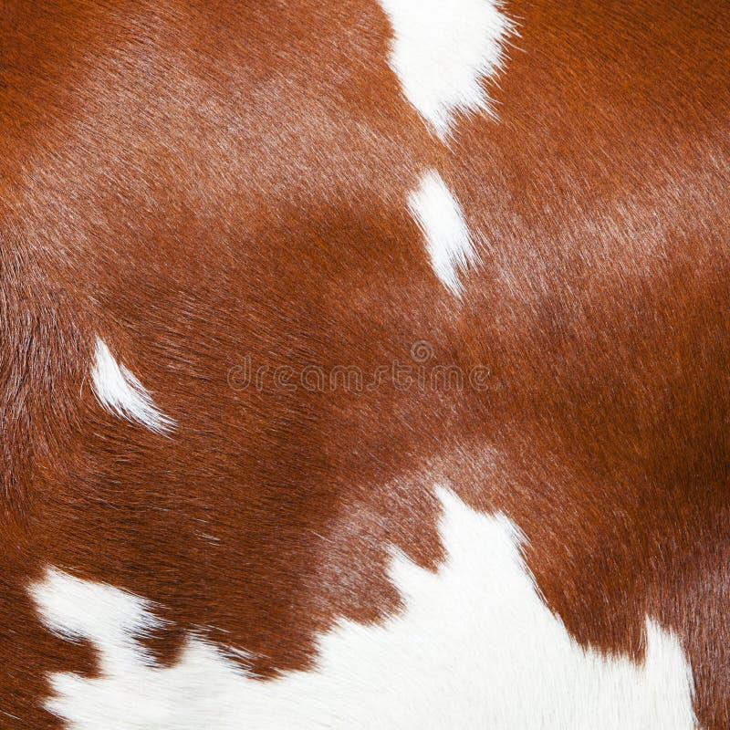 Parte rossa e bianca del pellame dal lato della mucca macchiata immagini stock
