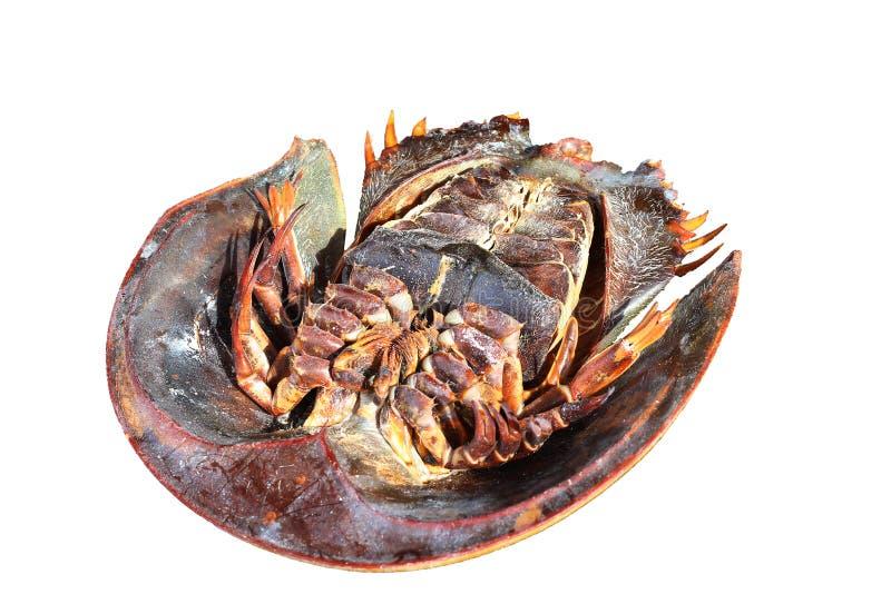 Parte superior aislada del cangrejo de herradura abajo en el fondo blanco fotos de archivo libres de regalías