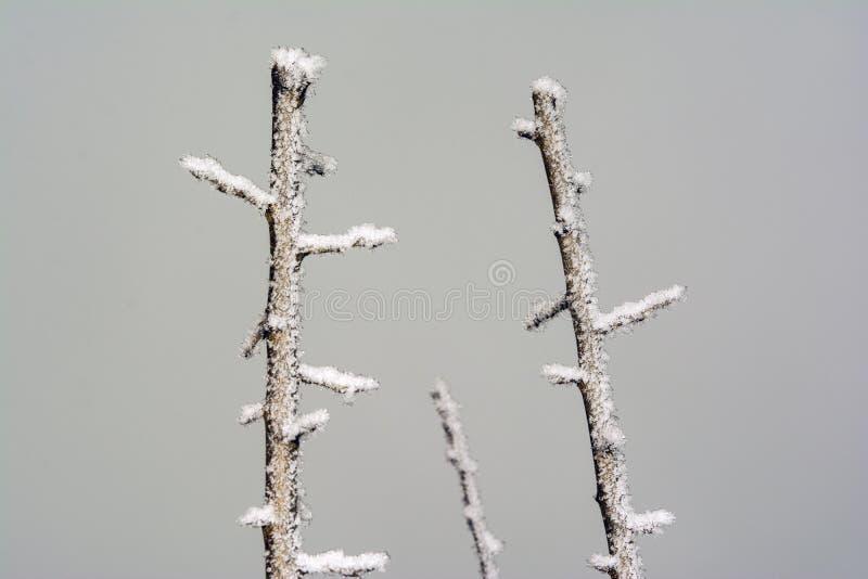 Parte superior congelada da árvore de ameixa imagem de stock royalty free