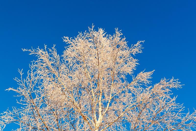 A parte superior da árvore, coberta com a geada branca bonita, contra o céu azul brilhante fotografia de stock