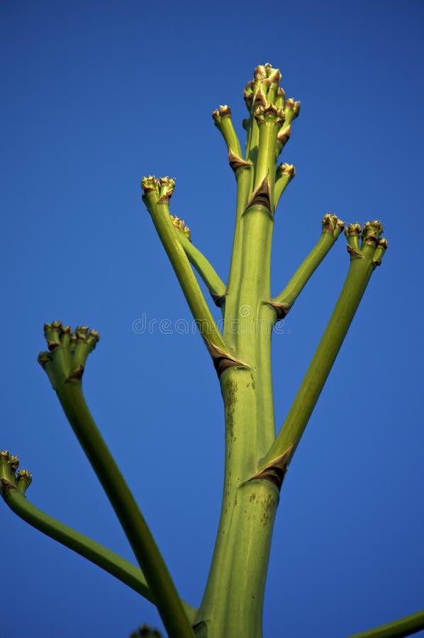 Parte superior da grande haste de flor da agave no por do sol fotos de stock
