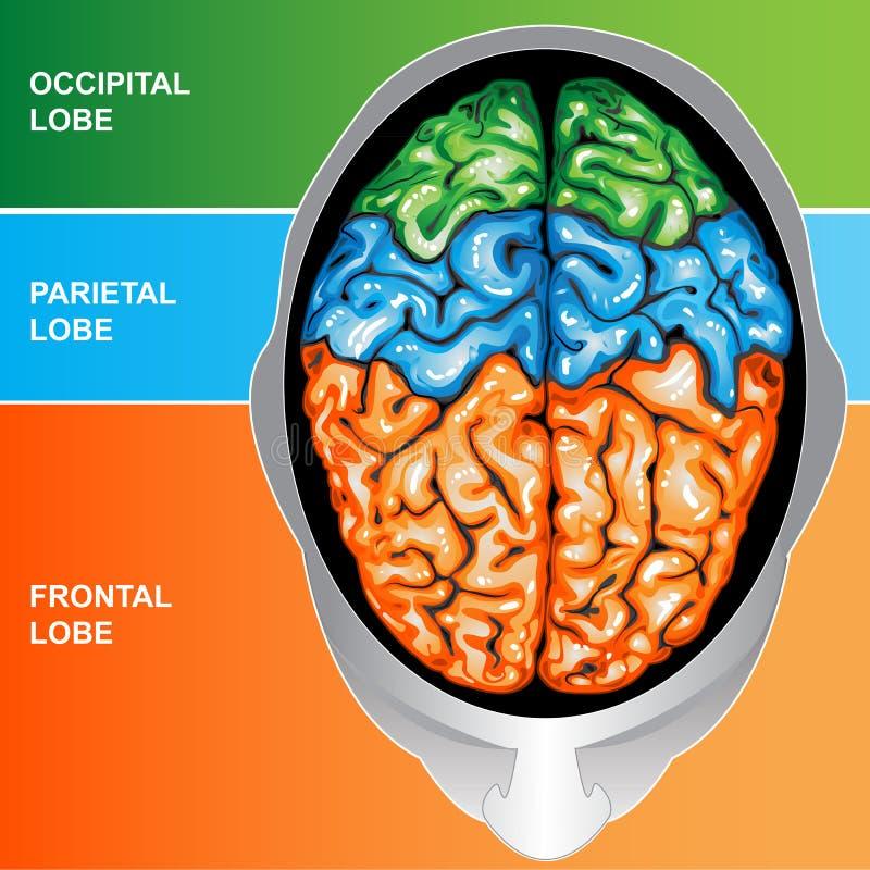 Parte superior da opinião de cérebro humano ilustração do vetor