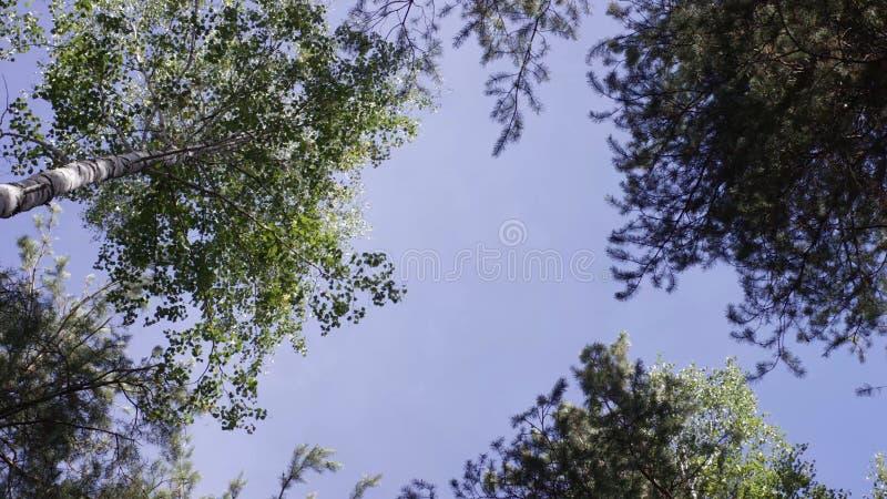 A parte superior das árvores na árvore de floresta escura cobre nas partes superiores e no céu da árvore de floresta do outono imagem de stock royalty free