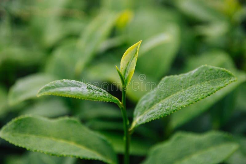 Parte superior das folhas de chá na exploração agrícola fotos de stock royalty free
