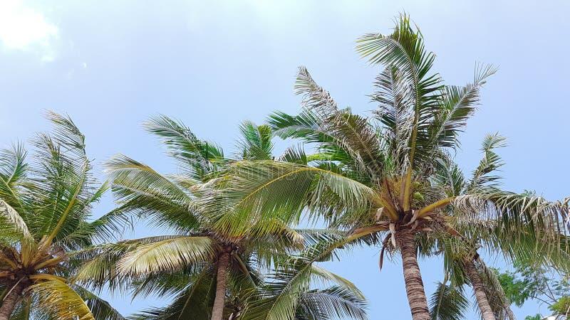 Parte superior das palmeiras com céu azul em um meio-dia foto de stock