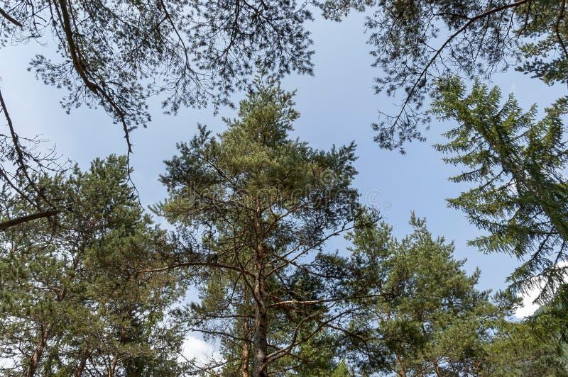 Parte superior de árvores coníferas diversas no verão, montanha do grupo de Rila imagens de stock royalty free