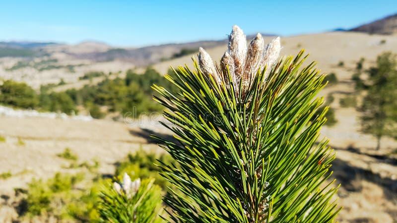 Parte superior de um pinheiro com as sementes na ponta da refeição matinal fotos de stock royalty free