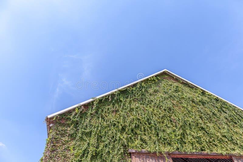 Parte superior de um telhado de duas águas em um celeiro de madeira e em uma planta de escalada verde o imagens de stock