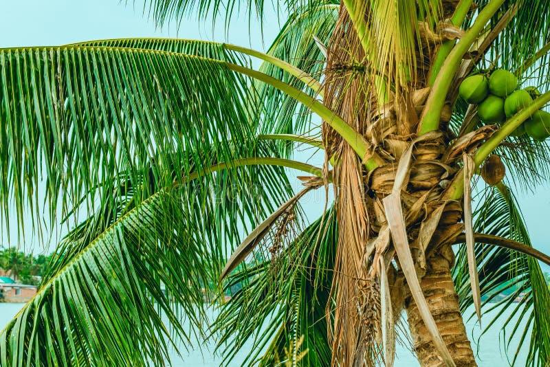 Parte superior de uma baixa palmeira com frutos imagem de stock