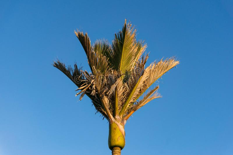 Parte superior ensolarado da palmeira, dossel com folhas verdes fotografia de stock royalty free