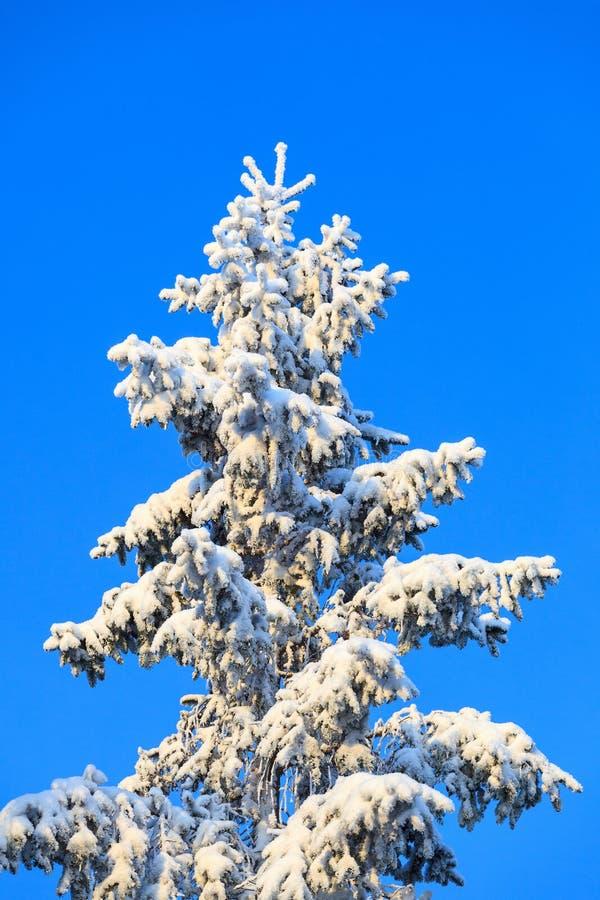 Parte superior Spruce com neve e geada imagens de stock