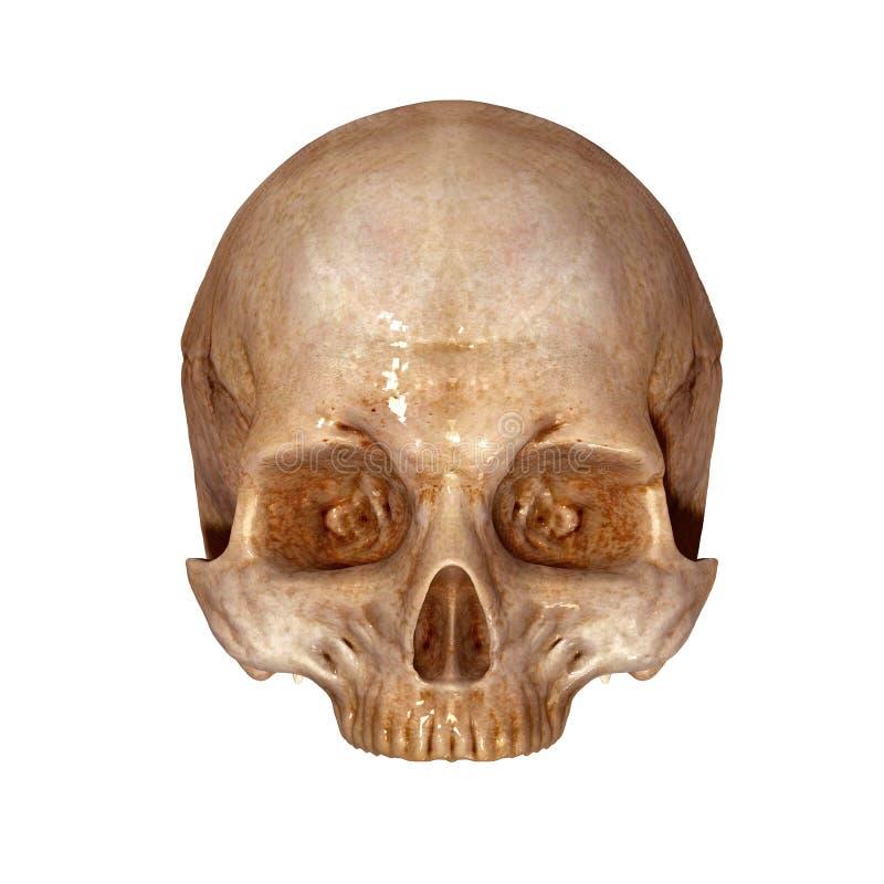 Parte superiore umana del cranio immagini stock