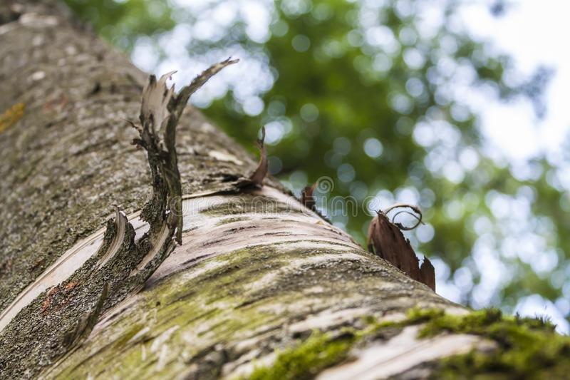 Parte torcida de casca em um tronco do vidoeiro foto de stock royalty free