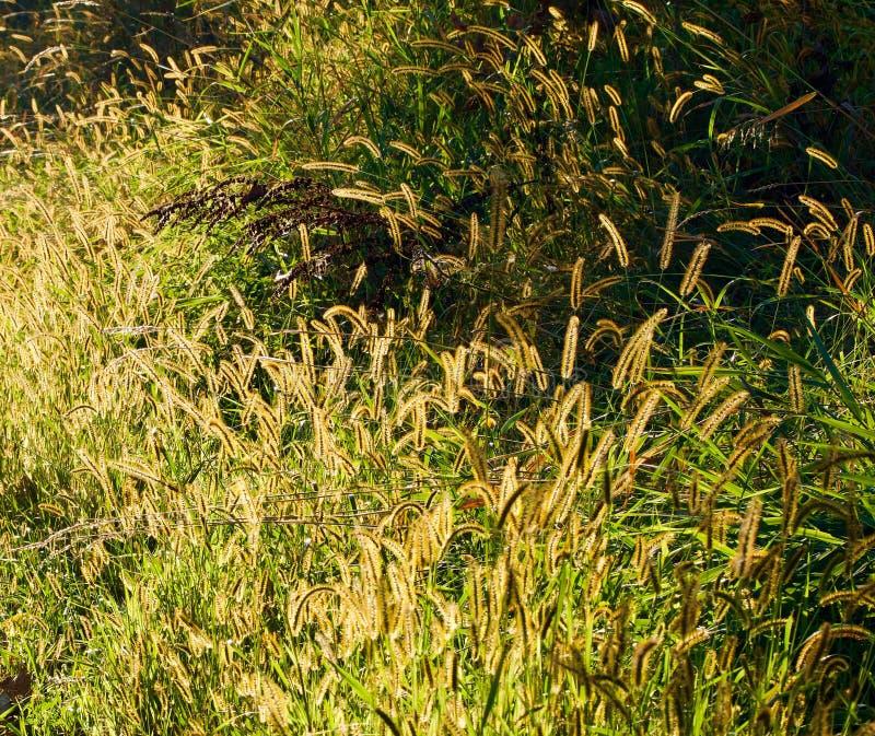 A parte traseira bonita iluminou as cabeças douradas da semente entre a grama verde fotos de stock