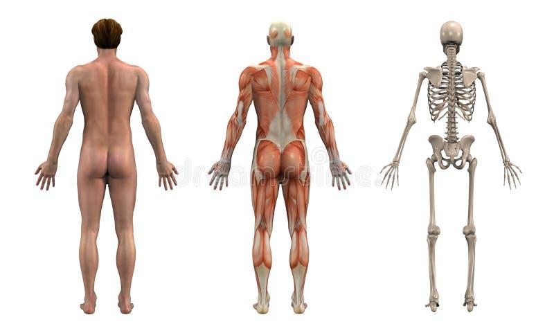 Parte traseira da anatomia - macho adulto ilustração royalty free