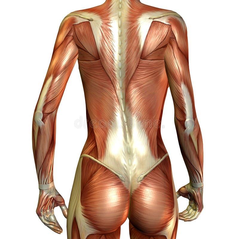 Parte traseira da fêmea do músculo ilustração do vetor