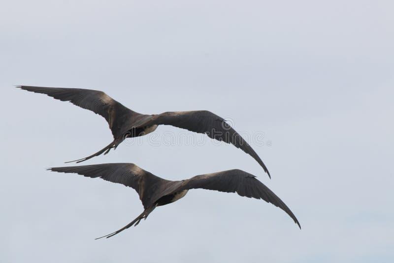 A parte traseira de um par frigatebirds magníficos, fregata magnificen, voando afastado imagem de stock royalty free