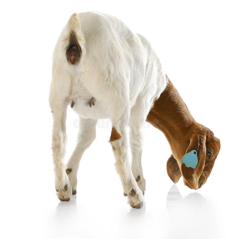 Parte traseira de uma cabra que doeling fotos de stock royalty free
