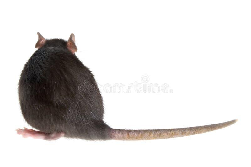 Parte traseira do rato fotografia de stock royalty free