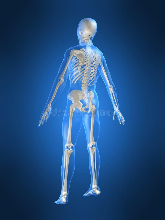 Parte traseira esqueletal ilustração royalty free