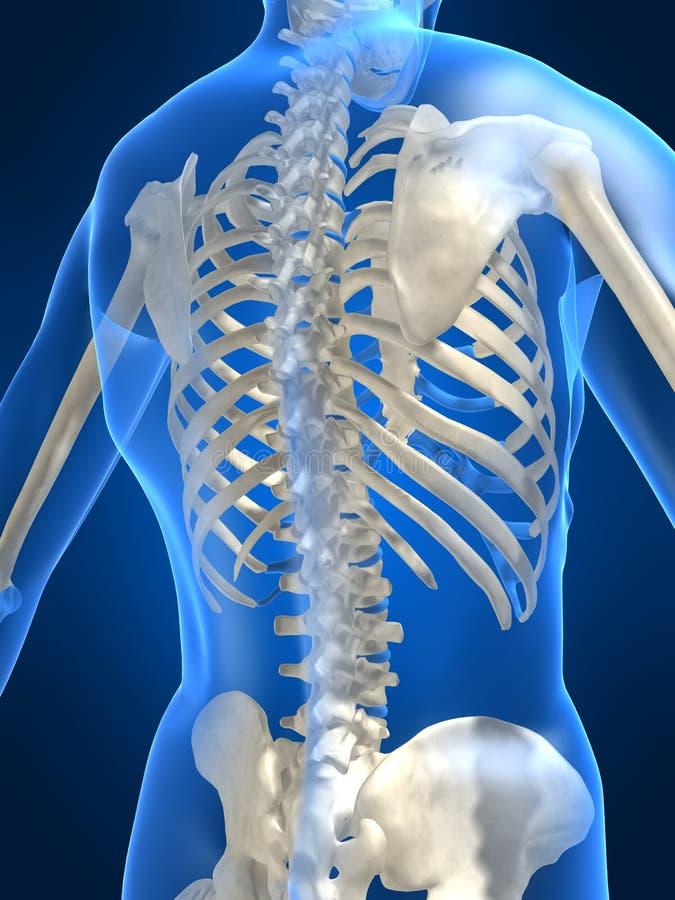 Parte traseira esqueletal humana ilustração royalty free