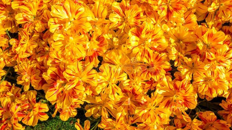 Parterre de floraison de tulipes dans le jardin d'agrément Keukenhof, fond coloré, Hollande photos libres de droits
