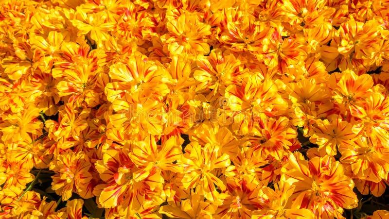 Parterre de floraison de tulipes dans le jardin d'agrément Keukenhof, fond coloré, Hollande photographie stock libre de droits
