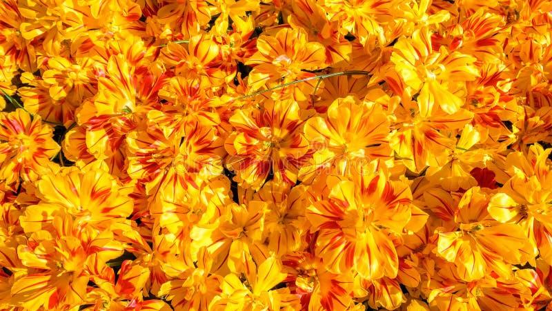 Parterre de floraison de tulipes dans le jardin d'agrément Keukenhof, fond coloré, Hollande photos stock