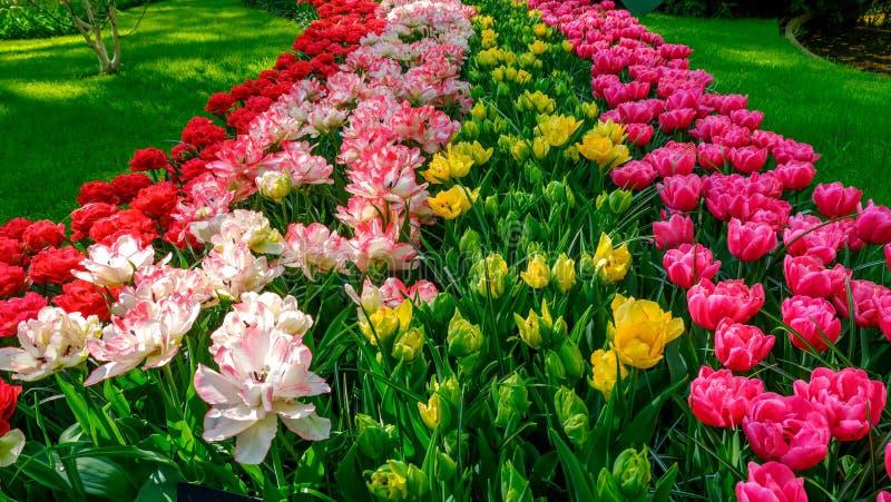 Parterre de floraison de tulipes dans le jardin d'agrément Keukenhof, fond coloré, Hollande photo stock