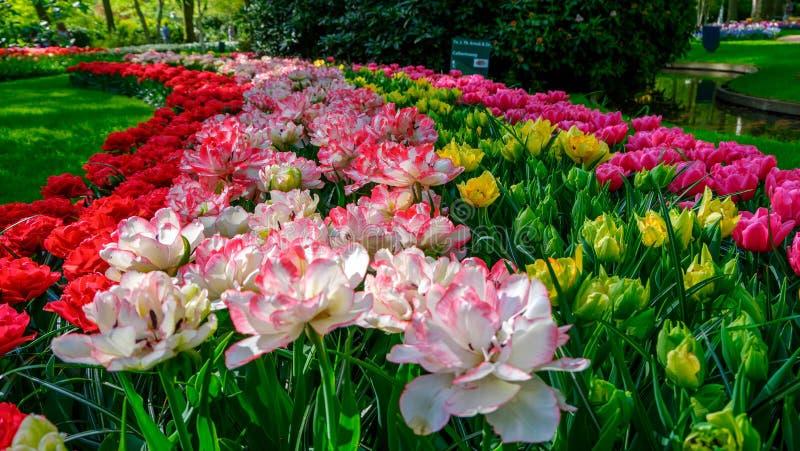 Parterre de floraison de tulipes dans le jardin d'agrément Keukenhof, fond coloré, Hollande image libre de droits