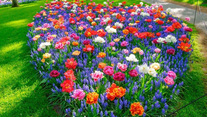 Parterre de floraison de tulipes dans le jardin d'agrément Keukenhof, fond coloré, Hollande images stock
