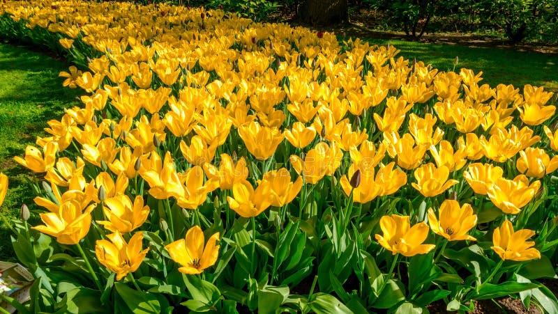 Parterre de floraison de tulipes dans le jardin d'agrément Keukenhof, fond coloré, Hollande photo libre de droits