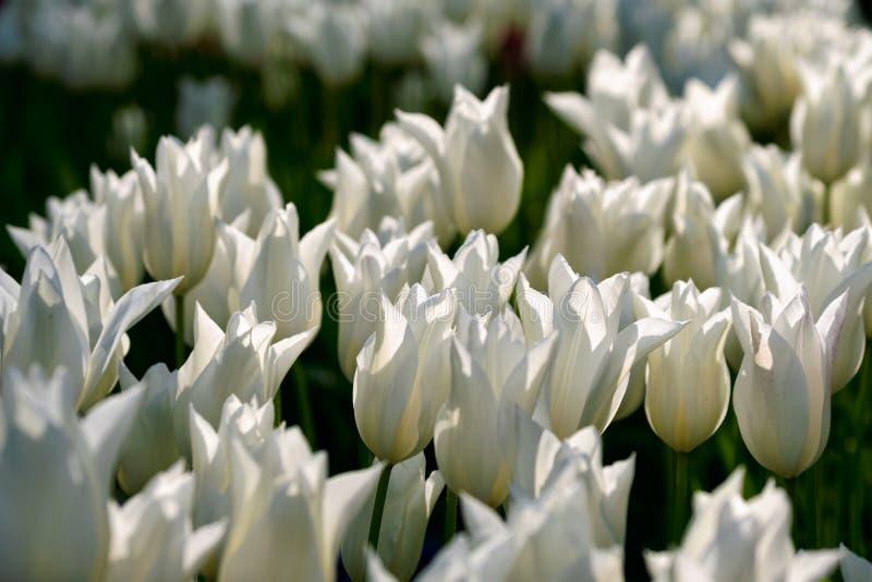 Parterre de floraison de tulipes dans le jardin d'agrément de Keukenhof, Netherland images libres de droits