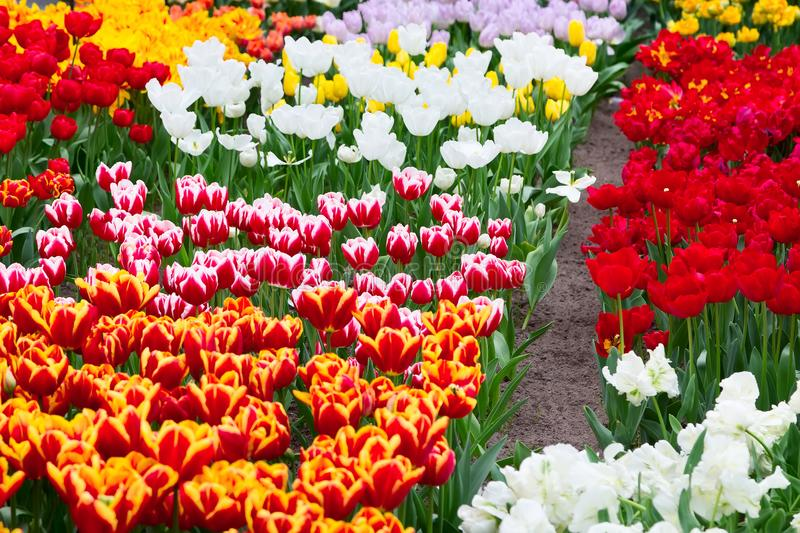 Parterre de tulipe, rouge, jaune, blanc photo stock