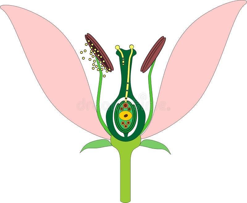 Partes da flor e da fecundação dobro ilustração do vetor