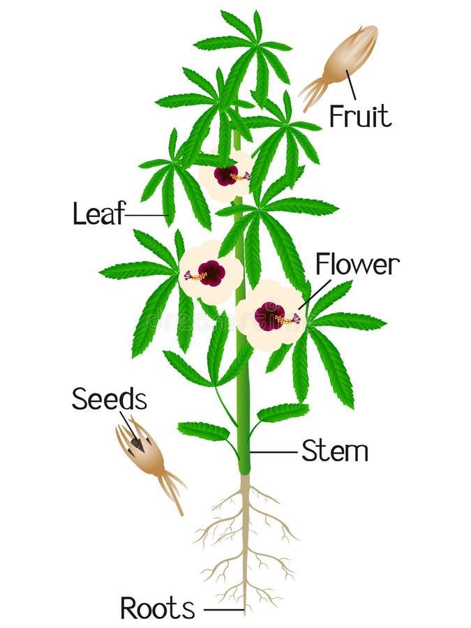 Partes da planta do cânhamo em um fundo branco ilustração do vetor