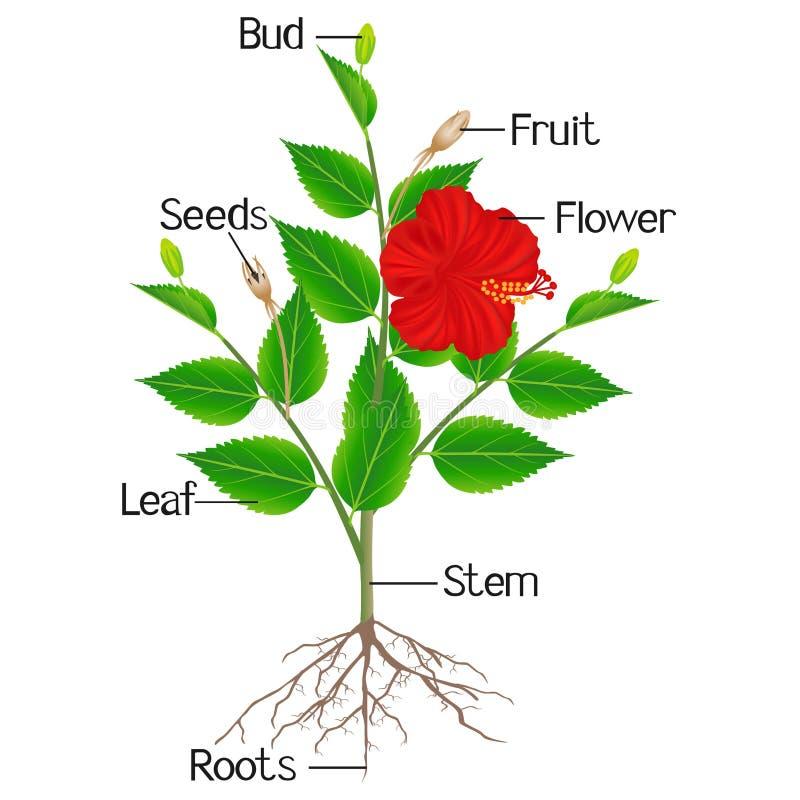 Partes da planta do hibiscus em um fundo branco ilustração royalty free