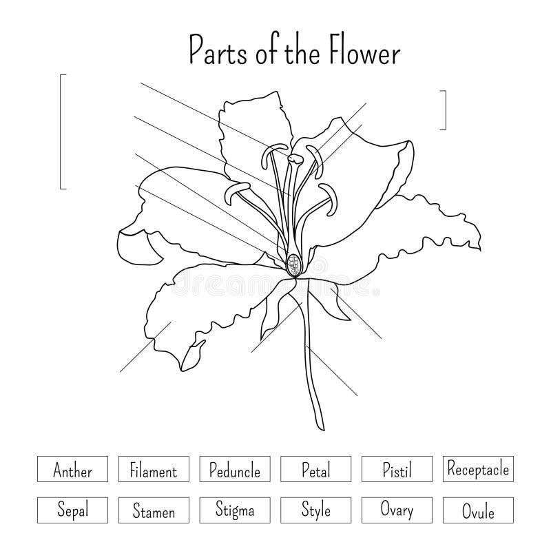 Partes de la hoja de trabajo de la flor en blanco y negro Anatomía de la flor del lirio ilustración del vector