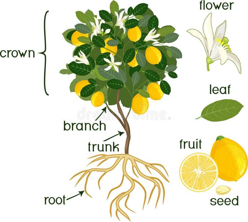 Partes de la planta Morfología del árbol de limón con las frutas, las flores, las hojas del verde y el sistema de la raíz en el f ilustración del vector