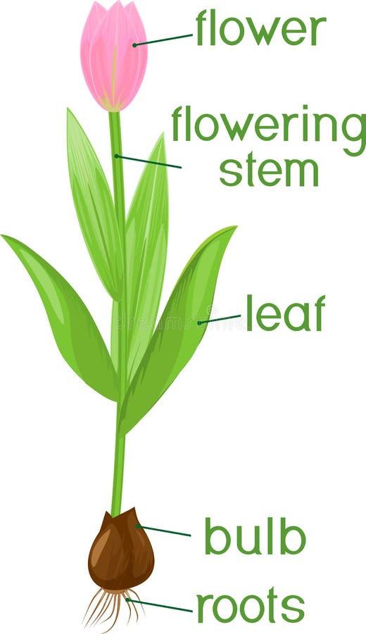 Partes de la planta Morfología del tulipán con las hojas verdes, la flor rosada, el bulbo y títulos stock de ilustración