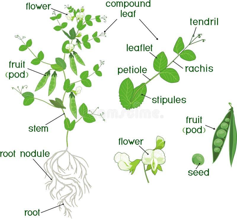 Partes de la planta Morfología de la planta de guisante con las frutas, las flores, las hojas del verde y el sistema de la raíz e ilustración del vector