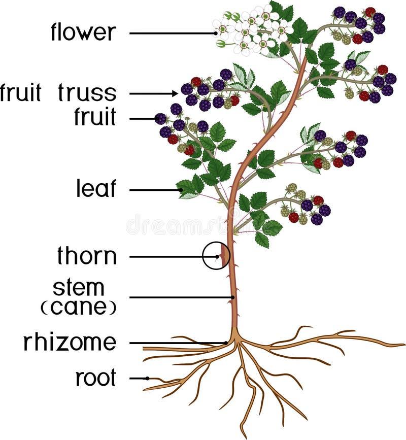 Partes de la planta Morfología de la zarzamora con las flores, las bayas, las hojas verdes, el sistema de la raíz y títulos libre illustration