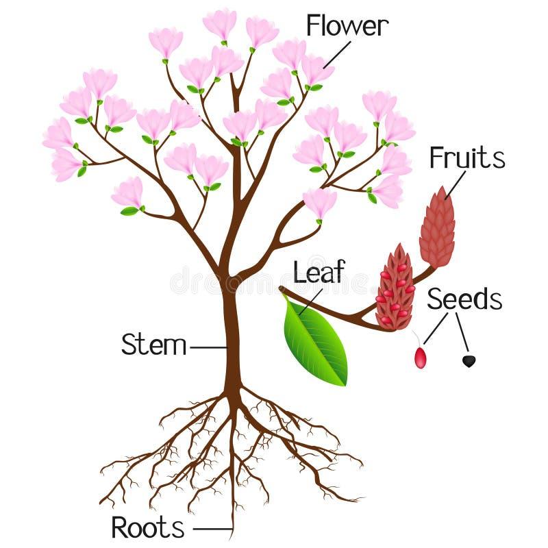 Partes de la planta rosada de la magnolia en un fondo blanco stock de ilustración