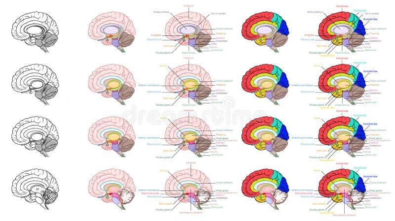 Partes de la vista lateral de la anatomía del cerebro humano ilustración del vector