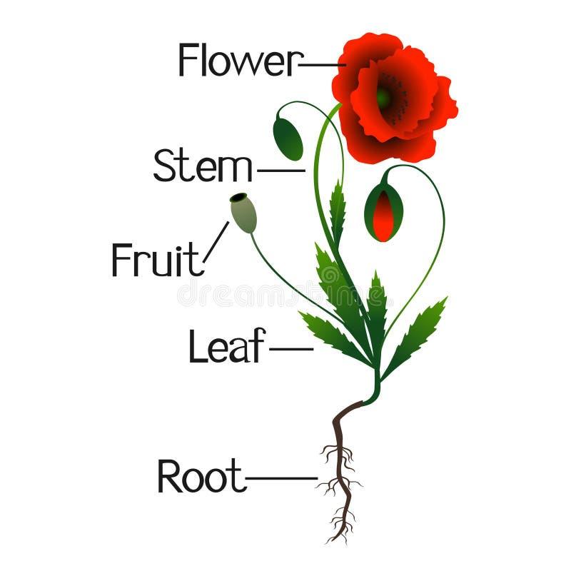Partes de plantas de la amapola ilustración del vector